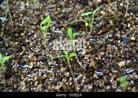 Ammi majus, Bishop's flower or Flase Bishop's Weed seedlings in seed tray with a layer of vermiculite