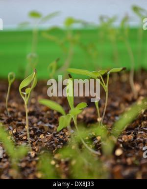 Ammi majus, Bishop's flower seedlings Stock Photo