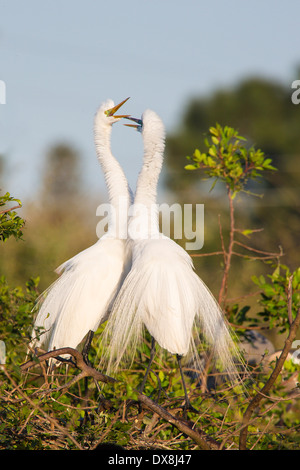 A pair of Great or American Egrets ( Ardea Alba ) in trees at Venice Rookery in Venice Florida - Stock Photo