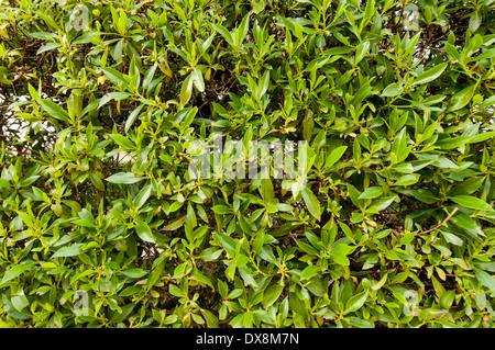 yew hedge - Stock Photo