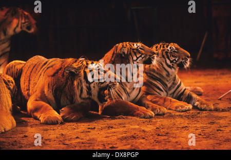 Circus performers, big cats Bengal tigers, Spain - Stock Photo