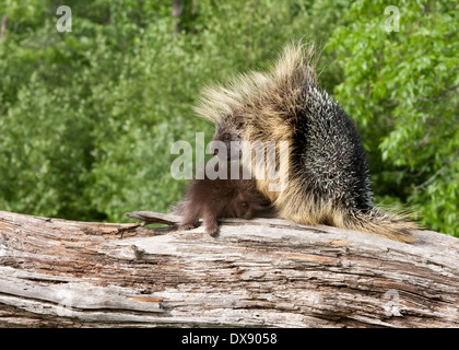 Porcupine Mom and Baby on a fallen tree trunk - Stock Photo
