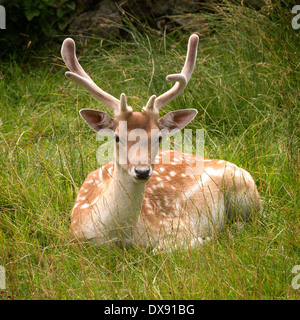 Fallow deer (Dama dama) buck with velvet antlers lying in green grass,  Charnwood Forest, Leicestershire, England, - Stock Photo