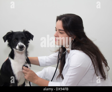 Veterinarian doctor and a border collie - Stock Photo