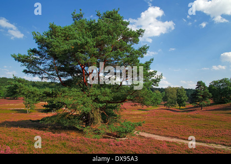 Scots Pine - Stock Photo