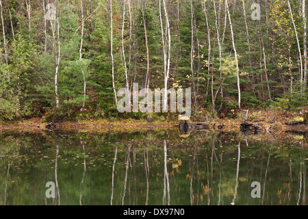 A dense forested area with birch and evergreen trees reflecting in a small pond in the Parry Sound District, Ontario, - Stock Photo
