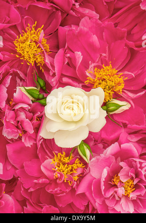 beautiful pink peony flowers with white single rose. floral background - Stock Photo