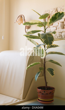 houseplant ficus in brown clay pots standing on the coffee table in the white room - Stock Photo