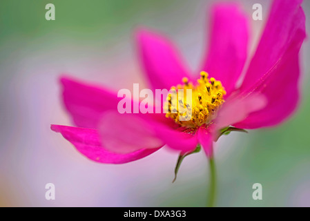 Cosmos bipinnatus, shot from side revealing pollen coverd yellow stamens. - Stock Photo