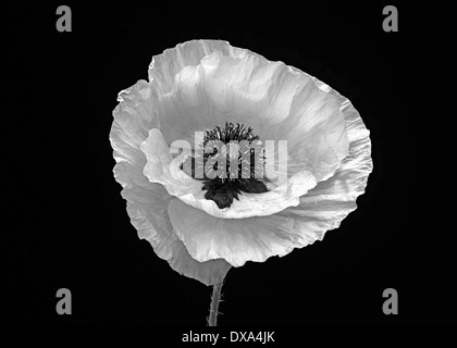 Poppy, Papaver commutatum 'Ladybird', black and white flower against a black background. - Stock Photo