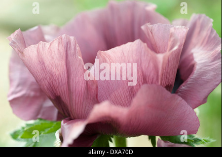 Oriental poppy, Papaver orientale 'Patty's Plum', pinky mauve flower side view showing delicate veins in the petals. - Stock Photo