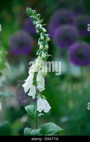 Foxglove, Digitalis purpurea albiflora, tall stem of the white flowers with purple alliums in soft focus behind. - Stock Photo