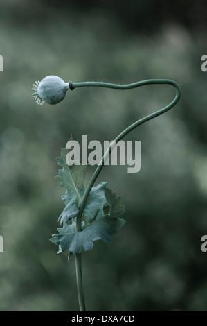 Opium poppy, Papaver somniferum seedhead on a single stem that has bent sideways, towards the left. - Stock Photo