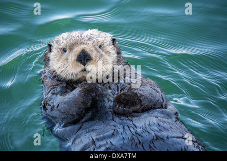 Cute Sea Otter, Enhydra lutris, lying back in the water, Seldovia Harbor, Alaska, USA - Stock Photo