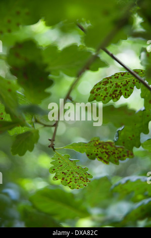 Common oak, Quercus robur, leaves infested with the common spangle gall caused by the cynipid wasp. - Stock Photo