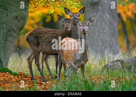 Three red deer (Cervus elaphus) hinds in autumn forest - Stock Photo