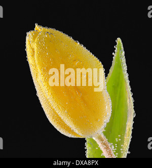 Single Yellow tulip with water drops on black background - Stock Photo