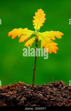 Pedunculate Oak - Stock Photo