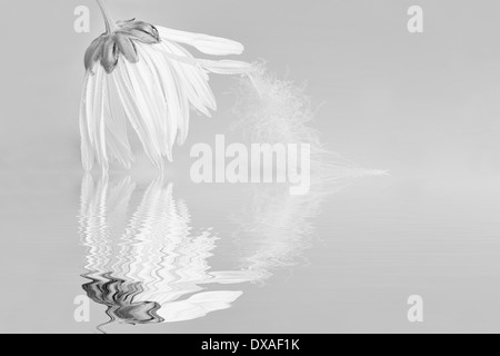 Ox-eye daisy Leucanthemum vulgare black & white with a feather on a petal flower hanging down touching the surface - Stock Photo