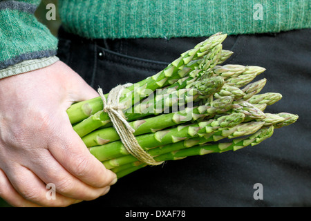 Man holding fresh green asparagus (Asparagus officinalis) spears in a garden, UK - Stock Photo