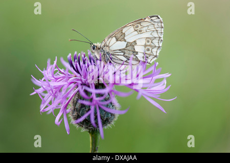 Knapweed, Black knapweed, Centaurea nigra, with Marbled White butterfly. - Stock Photo