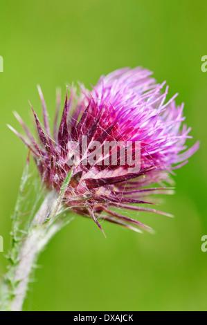 Musk thistle, Carduus nutans, purple spikey flower. - Stock Photo