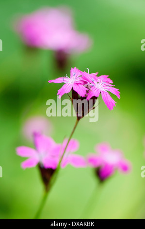 Carthusian pink, Dianthus carthusianorum, close up of flowers. - Stock Photo