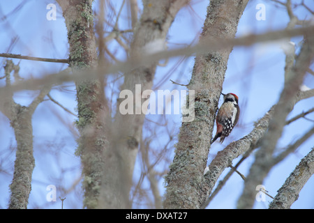 Middle Spotted Woodpecker (Dendrocopos medius), Europe - Stock Photo
