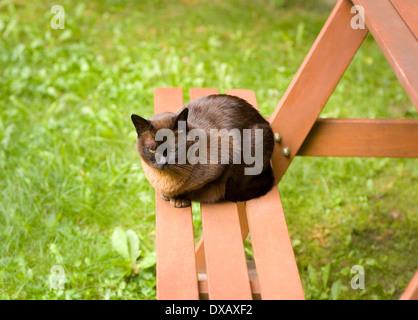 19 year old Brown Burmese cat in Garden - Stock Photo