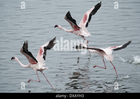 Lessor Flamingos at lake in Arusha National Park. Tanzania - Stock Photo