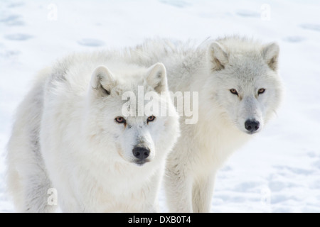 A pair of Arctic Wolves. - Stock Photo