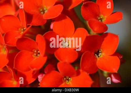 Bright orange four petal flowers of a tropical Kalanchoe blossfeldiana plant - Stock Photo