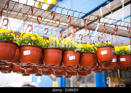 flowerpots with yellow Pansies dangle in shop - Stock Photo
