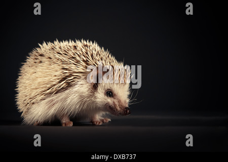 Hedgehog baring teeth to camera. - Stock Photo