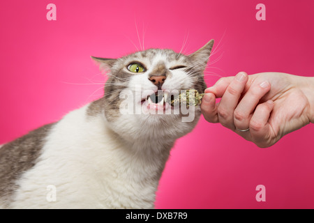 Cat pulling fresh catnip from owner's hand. - Stock Photo