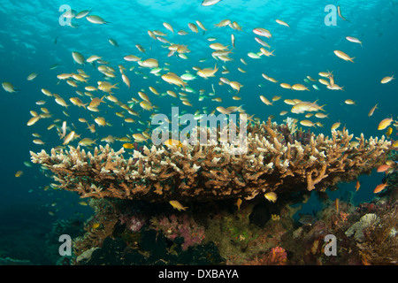 Schooling Anthias Fish over coral reef, Mbpaimuk Reef dive site, Tanjung Island, Raja Ampat, Indonesia - Stock Photo