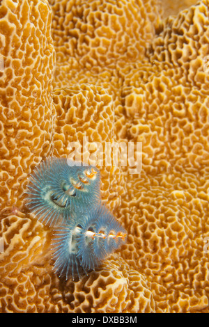 Christmas Tree Worm on coral reef, Lalosi dive site, Arborex Island, Raja Ampat, Indonesia - Stock Photo
