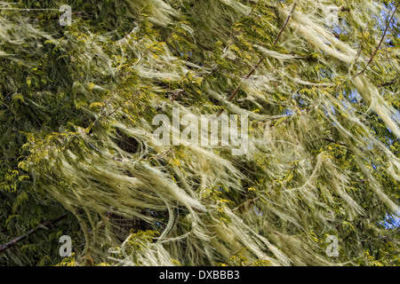Lichen blowing in wind on tree. - Stock Photo