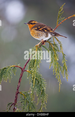 Varied Thrush perched on a cedar branch in the rain. - Stock Photo