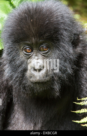 Mountain Gorilla (Gorilla gorilla beringei) close up portrait of juvenile's face, Parc National des Volcans, Rwanda - Stock Photo