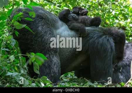 Mountain Gorilla (Gorilla gorilla beringei) silverback with baby resting on back, Parc National des Volcans, Rwanda - Stock Photo