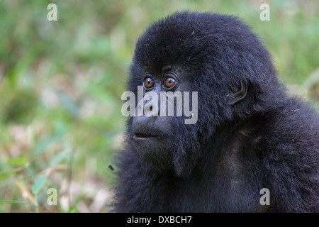 Mountain Gorilla (Gorilla gorilla beringei) side portrait of juvenile's face, Parc National des Volcans, Rwanda - Stock Photo