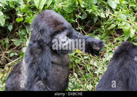 Mountain Gorilla (Gorilla gorilla beringei) silverback with missing hand from snare injury, Parc National des Volcans, - Stock Photo