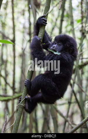 Mountain Gorilla (Gorilla gorilla beringei) 18 month old infant playfully climbing bamboo pole, Parc National Des - Stock Photo