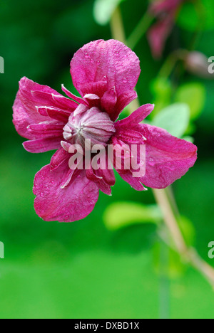 Clematis viticella - Stock Photo