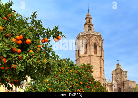 Trees with ripe oranges and bell tower of famous Saint Mary's Cathedral on background under blue sky in Valencia, - Stock Photo