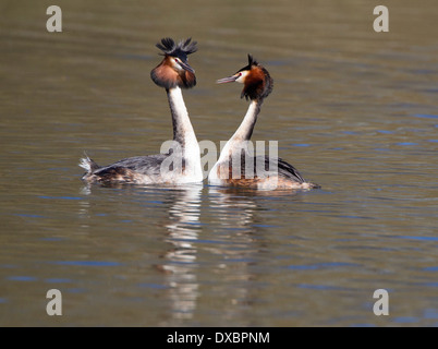 Pair of great crested grebes in courtship display; - Stock Photo