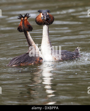 Pair of great crested grebes in courtship ritual; - Stock Photo