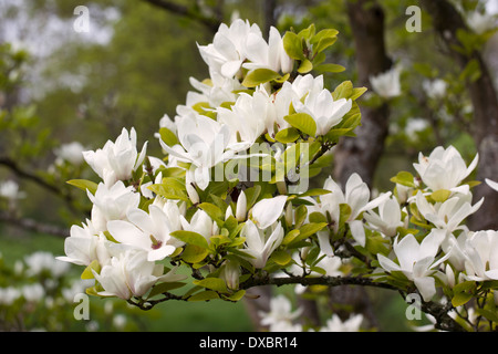Branch of a white flowering Magnolia tree - Stock Photo