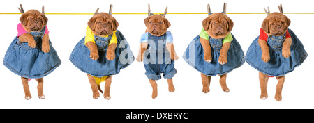 litter of puppies hanging on a clothesline - dogue de bordeaux - 5 weeks old - Stock Photo